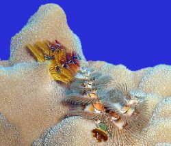 Xmax tree worms